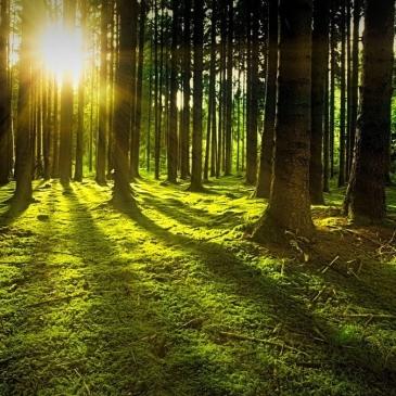 Arbres bosc llum